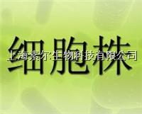 HPMEC細胞,人肺微血管內皮細胞,HPMEC細胞 HPMEC
