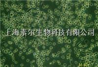 HT-22細胞株(猫咪网)151223