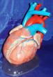 心脏模型心脏解剖放大模型系列